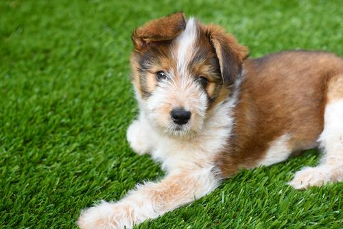dog-artificial-grass