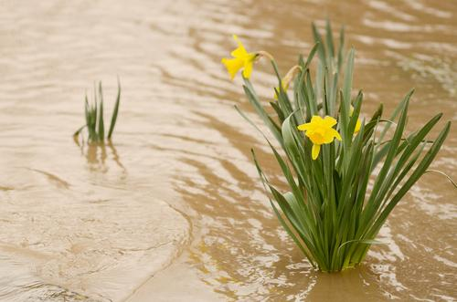 Daffodil flowers in the muddy flood waters