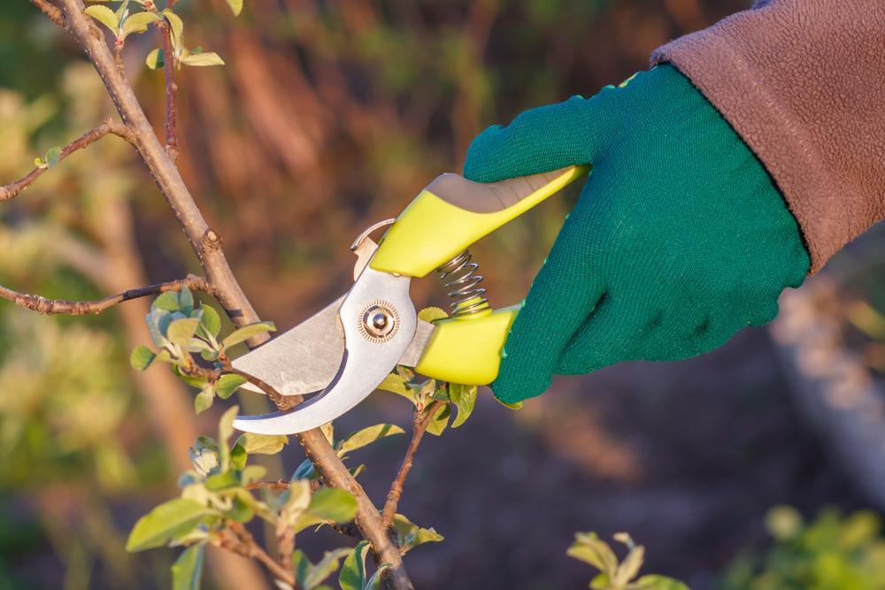 Spring pruning of fruit tree