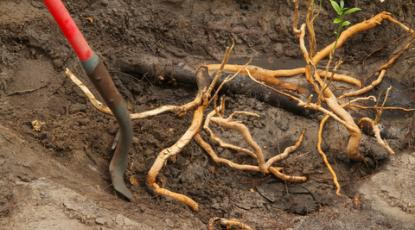 Troublesome Tree Roots and Artificial Grass